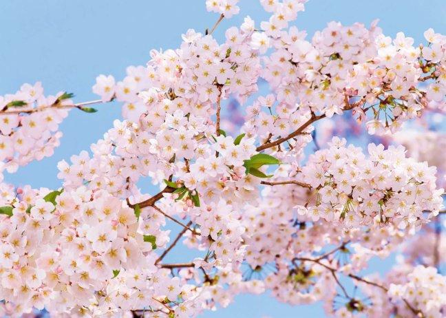 Цветы яблоня в цвету цветущая яблоня